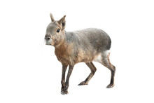 Patagonian Mara Isolated On A White