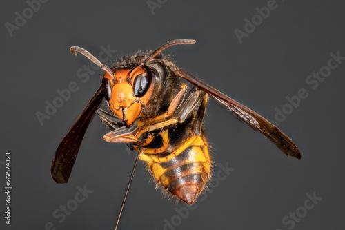 Valokuva frelon asiatique Vespa velutina