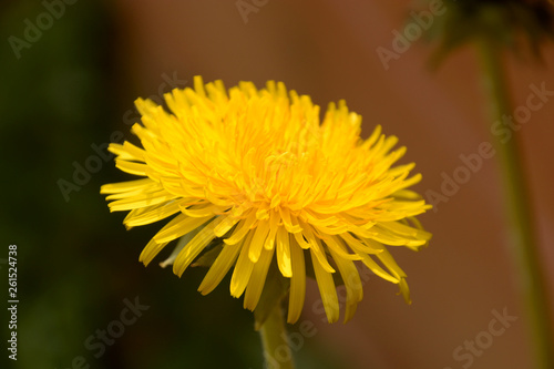 Photo  spring theme with yellow dandelion flowers background also called taraxacum offi