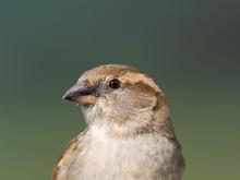 Female House Sparrow, Passer D...