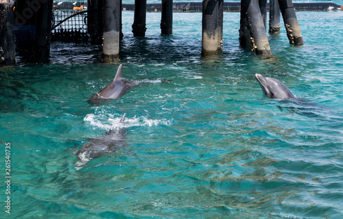 Canvas Prints Dolphin three swimming dolphins in the israel city eilat