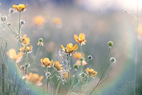 Fototapety, obrazy: Buttercup flower, flowering yellow flower in meadow in spring