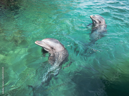 Canvas Prints Dolphin two swimming dolphins in the israel city eilat