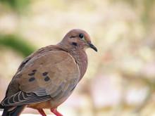 Ruddy-ground Dove (Columbina T...