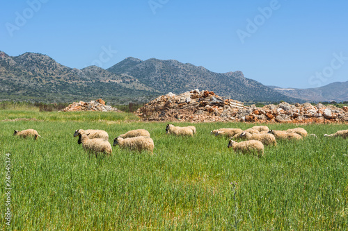 Fotografía  A flock of sheep grazing on spring grass surrounded by mountains