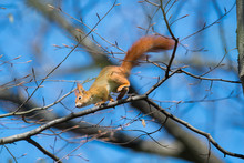 Jumping Squirrel From Tree To ...
