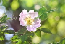 Beautiful Pink Wild Rose Flower With Blurred Green Leaves And Sun Light On Background. Spring Blooming Bush With Romantic Dog Rose Flowers. Treatment Blooming Plant With Sunlight On Backdrop. Summer