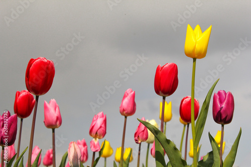 Poster Printemps beautiful pink, red and yellow tulips in a garden in holland in springtime and a grey sky in the background