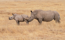 White Square-lipped Rhinoceros, Mother And Calf, Side Profile Showing Large Horns Of Ceratotherium Simum. Near Threatened Wildlife Species. Ol Pejeta Conservancy, Kenya, Africa