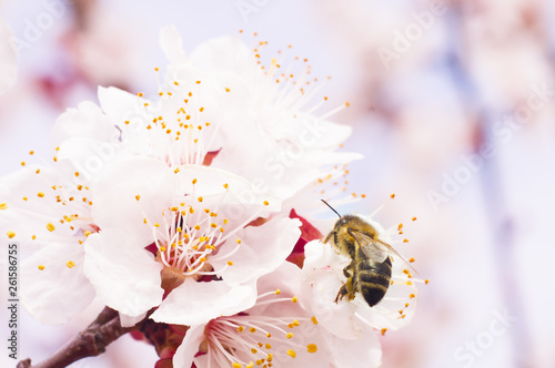 the bee pollinates the tree bloom macro Wallpaper Mural