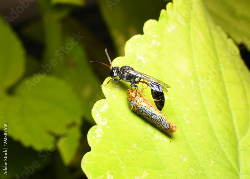 Fotografie, Obraz  Thread Waisted Wasp with prey