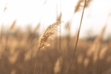 Soft Focus Of Reeds Stalks Blowing In The Wind At Golden Sunset Light. Sun Rays Shining Through Dry Reed Grasses In Sunny Weather