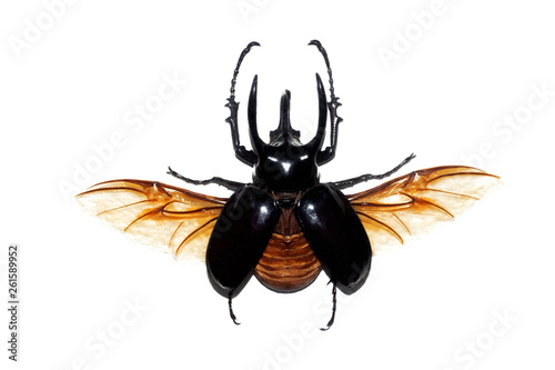 Fotografía  Big brown beetle, isolate on a white background, chalcosoma atlas