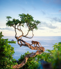 Obraz na Szkle Las Monkey on the tree. Animals in the wild. Landscape during sunset. Kelingking beach, Nusa Penida, Bali, Indonesia. Travel - image