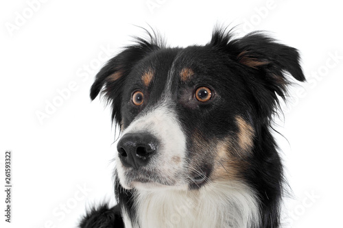 Fotografía  Portrait of an adorable shepherd dog looking frightened
