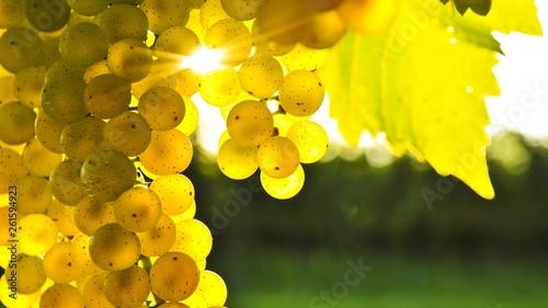 Fototapeta  bunch of grapes