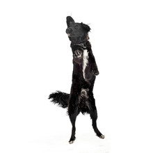 Studio Shot Of An Adorable Mixed Breed Dog Standing On Hind Legs