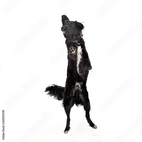 Photo  Studio shot of an adorable mixed breed dog standing on hind legs