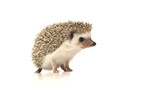 Fototapeta Zwierzęta - An adorable African white- bellied hedgehog standing on white background