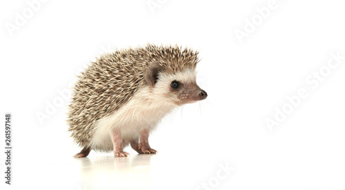 Photographie An adorable African white- bellied hedgehog standing on white background