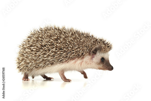 An adorable African white- bellied hedgehog walking on white background Fototapeta