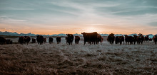 A Close Up Image Of Cow Herd On A Field In Alberta, Canada
