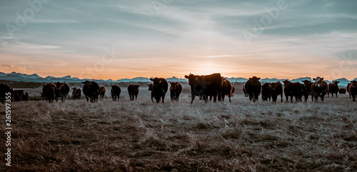 Photographie A close up image of cow herd on a field in Alberta, Canada