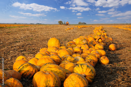 Numerous pumpkins lined up in a field #261599507