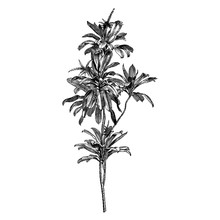 Engraving Cordyline Terminals Flowers Vintage Illustrations