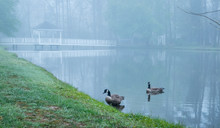 Two Canada Geese On A Pond