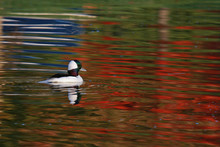 Bufflehead With Bright Red Fall Foliage Reflecting On Apond