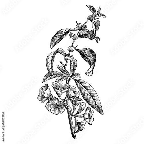 Tableau sur Toile Engraving Maule's Quince Cydonia Japonica Flower Vintage Illustrations