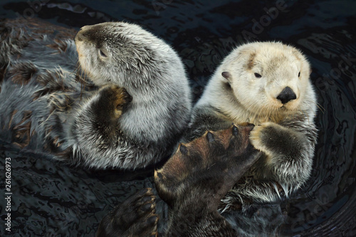 Fotografie, Tablou  Sea otter (Enhydra lutris)