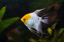 Angelfish (Pterophyllum Scalare)