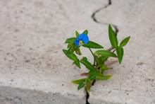 Blue Flower Growing Through Th...