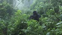 Mountain Gorilla Licking  Inju...