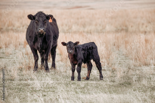 Photo Black Angus cow and calf in pasture