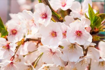 Obraz na Szkle Optyczne powiększenie Cherry blossoms in full bloom in Yamanashi - Japan spring -