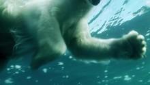 Passage Of A Polar Bear Swimmi...