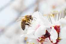 The Bee Collects Honey From The Fruit Tree