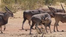 Massive Eland Antelopes In Eto...