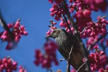 寒緋桜とヒヨドリ