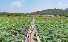 A Field Of Pink Lotuses On A L...