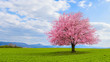Leinwanddruck Bild - Lonely Japanese cherry sakura with pink flowers in spring time on green meadow.  Blossoming cherry sakura tree on a green field with a blue sky and clouds.