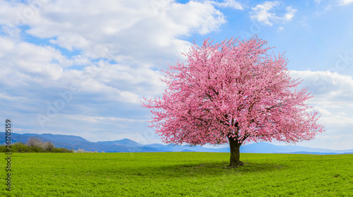 Cadres-photo bureau Arbre Lonely Japanese cherry sakura with pink flowers in spring time on green meadow. Blossoming cherry sakura tree on a green field with a blue sky and clouds.