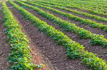 Background Garden, Sweet Potato Plantation.