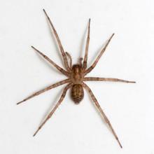 Tegenaria Domestica Spider On White Background