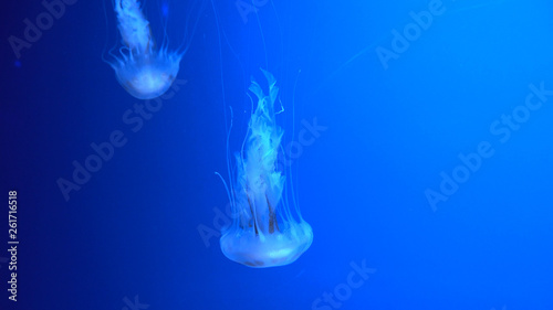 Photographie Beautiful jellyfish moving through the water neon lights