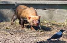 Bush Dog Hunts A Crow. (Savannah Dog). The Bush Dog Is A Predatory Mammal Of The Canine Family. Inhabits The Forests And Wet Savannas Of Central And South America.