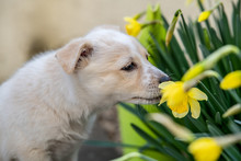 Close-up Of A Young Beige Mixed-breed Puppy Sniffing At Daffodil Flowers